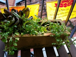 Watercress trough three months later as balcony garden