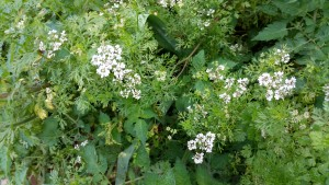 Coriander in full flower. To encourage more leaf growth cut off the flower tips before they open.