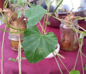 Growing sweet potato slips in a jar
