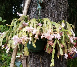 Flowering hanging pot plant hanging from a tree