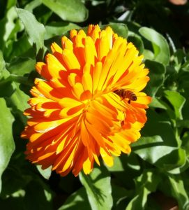 Colorful orange calendula
