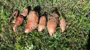 sweet potatoes drying in the sun