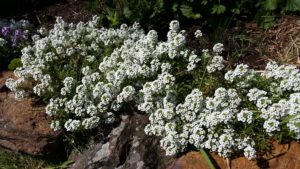 Awesom white alyssum