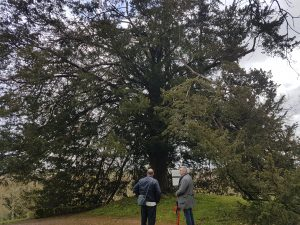 The oldest tree on the property dating back some 350 years.