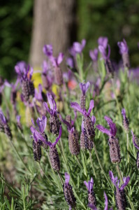 Lavender attracts the bees into your garden
