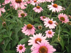 Colourful Echinacea in full flower ready to harvest