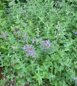 Organic gardening includes companion planting for example cat mint between the cabbages