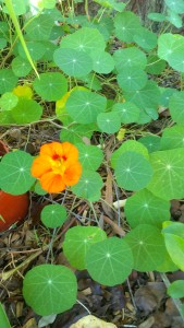 Nasturtiums are perfect for hanging gardens.