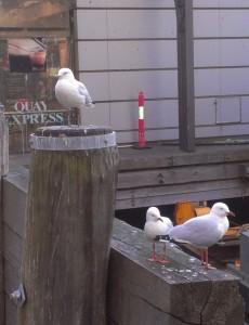 Opportunistic gulls