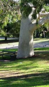 The coolness of this majestic tree was so calming - Adelaide parklands