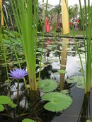 Peace as you relax at the Lotus Lily Pond