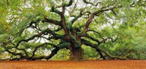 Meditate alongside an old tree -  The 1,500 years old Fairy-Talesque Angel Oak Tree on Johns Island, South Carolina, USA