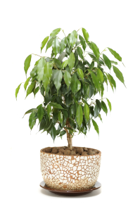 Ficus - can grow really large depending on the size of the pot
