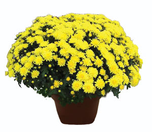 Garden Mum. NASA found this plant to best indoor to purify the air