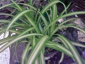 Spider Plant (Hen and chickens) So easy to grow. Loves bright sun